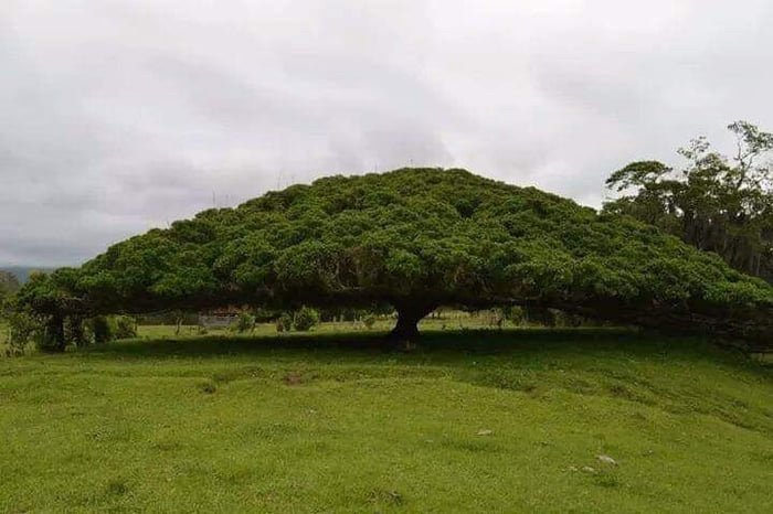 This is a 50 mts (165ft) tree in Costa Rica